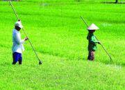 Một số vấn đề cần quan tâm trong sử dụng phân bón cho cây lúa
